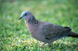 Spotted Dove (Streptopelia chinensis) Photo