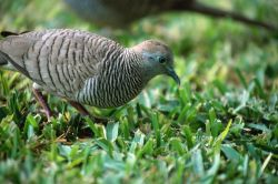 Zebra Dove (Geopelia striata) Photo