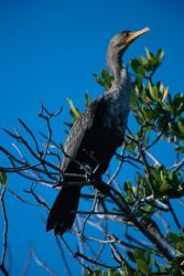Double-crested Cormorant (Phalacrocorax auritus) Photo