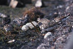 Ruddy turnstone (Arenaria interpres) Photo