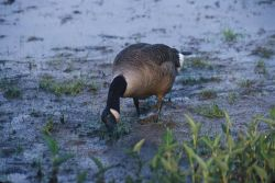 Canada goose (Branta canadensis) Photo