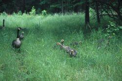 Canada Geese (Branta canadensis) Photo
