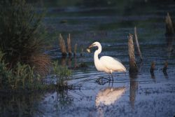 Great Egret (Casmerodius albus) Photo