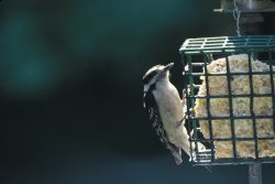 Downy Woodpecker (Picoides pubescens) Photo