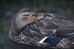 Mallard Duck (Anas platyrhynchos) Photo
