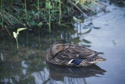 Mallard Duck (Anas platyrhynchos) Photo
