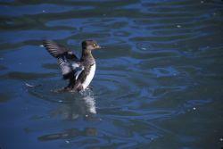 Red-breasted Merganser Duck (Mergus serrator) Photo