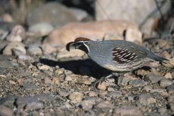 Gambel's Quail (Callipepla gambelii) Photo