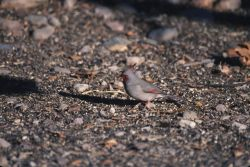 Pyrrhuloxia (Cardinalis sinuatus) Photo
