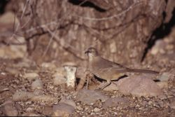 Curved-billed Thrasher (Toxostoma curvirostre) Photo