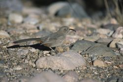 Crissal Thrasher (Toxostoma crissale) Photo