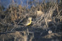 Western Meadowlark (Sturnella neglecta) Photo