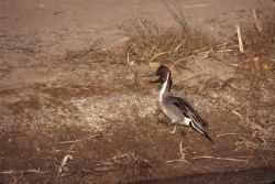 Northern Pintail (Anas acuta) Photo