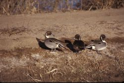 Northern Pintails (Anas acuta) Photo