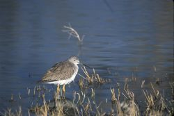 Greater Yellowlegs (Tringa melanoleuca) Photo