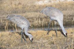 Sandhill Cranes (Grus Canadensis) Photo