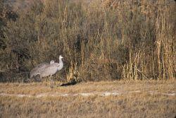 Sandhill Crane (Grus Canadensis) Photo