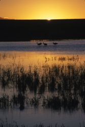 Sandhill Cranes and Sunrise Photo