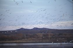 Snow Geese (Chen caerulescens) Photo