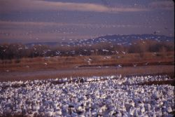 Snow Geese (Chen caerulescens) Photo