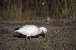 Snow Goose (Chen caerulescens) Photo