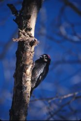 Acorn Woodpecker (Melanerpes formicivorus) Photo