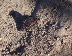 Blister beetle (Megetra sp.) Photo