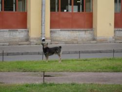Feral Dog (Canis lupus) Photo
