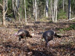 Wild Turkeys (Meleagris gallopavo) Photo