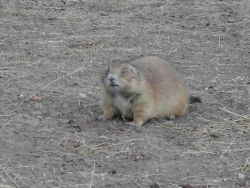 Black-tailed Prairie Dog ( Cynomys ludovicianus ) Photo