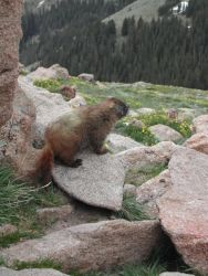 Yellow-bellied marmot (Marmota flaviventris) Photo