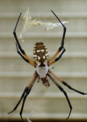 Garden Spider (Argiope aurantia) Photo
