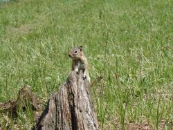Golden-mantled ground squirrel (Spermophilus lateralis) Photo