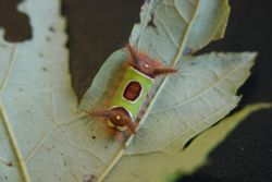 Saddleback Caterpillar (Acharia stimulea) Photo