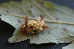 Saddleback Caterpillar (Acharia stimulea) with Wasp Cocoons Photo