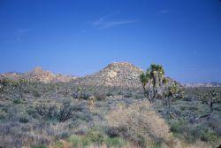 Joshua Tree (Yucca brevifolia) Photo