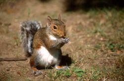 Eastern Gray Squirrel (Sciurus carolinensis) Photo