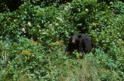American Black Bear (Ursus americanus) Photo