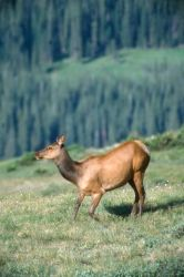 Elk (Cervus elaphus) Photo