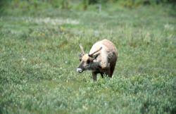 Caribou (Rangifer tarandus) Photo