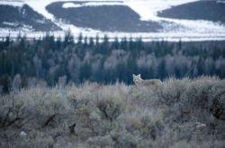 Coyote (Canis latrans) Photo