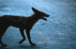 Red Fox (Vulpes vulpes) Photo