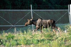 Moose (Alces alces) Photo