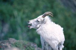 Dall's Sheep (Ovis dalli) Photo