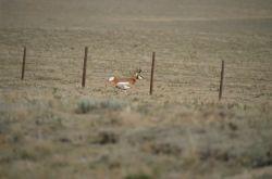 Pronghorn (Antilocapra americana) Photo