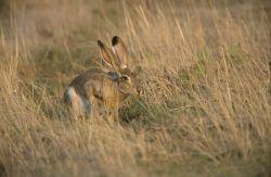 Black-tailed Jack Rabbit (Lepus californicus) Photo