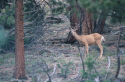 Mule Deer (Odocoileus hemionus) Photo