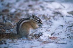 Least Chipmunk (Tamias minimus) Photo