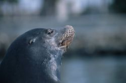 California Sea Lion (Zalophus californianus) Photo
