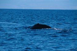Humpback Whale (Megaptera novaeangliae) Photo